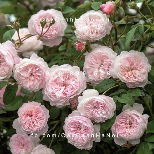 Hình ảnh hoa hồng leo The Albrighton