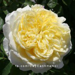 Hình ảnh hoa hồng leo The Pilgrim