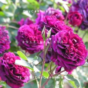 Hình ảnh hoa hồng leo Tradescant