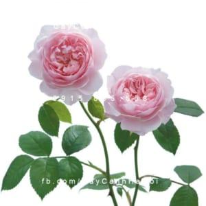 Hình ảnh hoa hồng leo Wisley