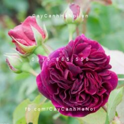 Hình ảnh hoa hồng Munstead wood Tree Rose
