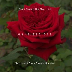 Hình ảnh hoa hồng Red Minijet Tree Rose