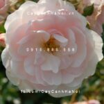 Hình ảnh hoa hồng Sea Foam Tree Rose