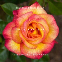 Hình ảnh hoa hồng Sheila