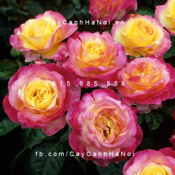 hoa-hong-sheila-s-perfume-tree-rose (2)