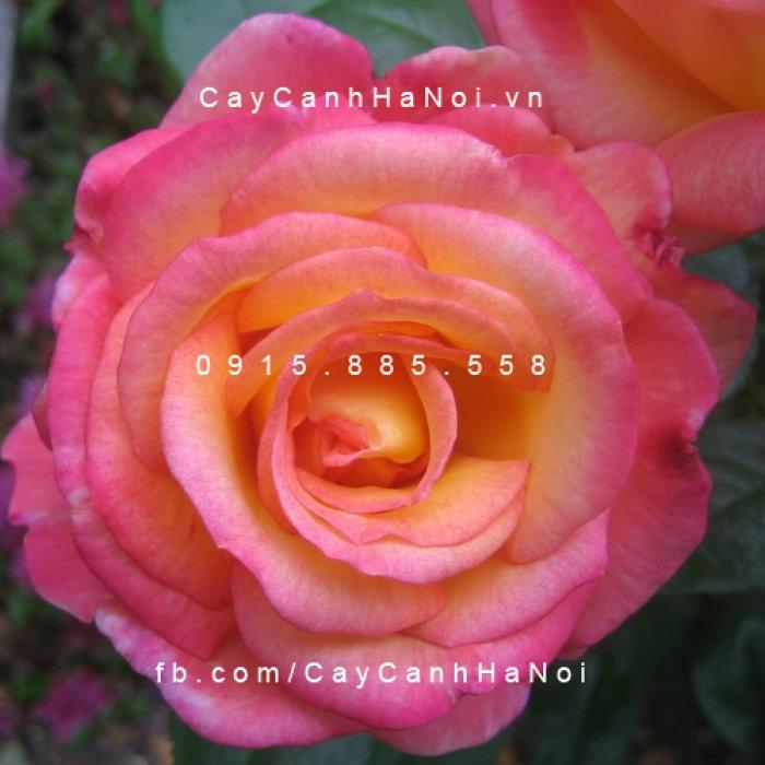 "Hoa hồng Sheila""s Perfume Tree Rose"