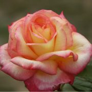 hoa-hong-sheila-s-perfume-tree-rose (4)