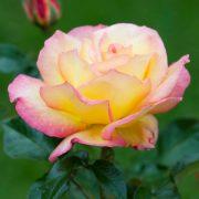 hoa-hong-sheila-s-perfume-tree-rose (5)
