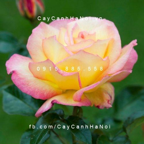 "Hình ảnh hoa hồng Sheila""s Prerfume Tree Rose"
