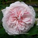Hình ảnh hoa hồng Souvenir de Malmaison Tree Rose