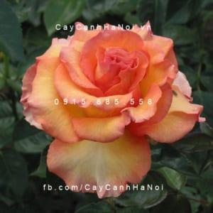 Hình ảnh hoa hồng Sunstruck Tree Rose