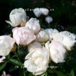 Hình ảnh hoa hồng White Margo Koster Tree Rose