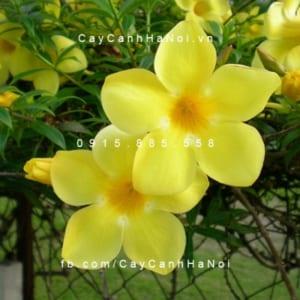 hoa huỳnh độc đáo