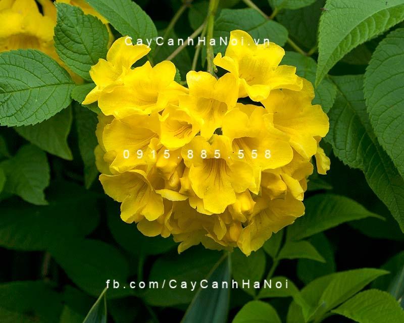 huỳnh liên hoa vàng (hoàng yến)