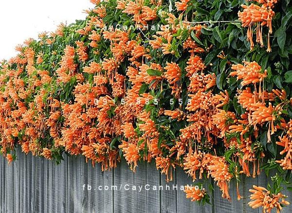 hoa leo chùm ớt leo bờ rào