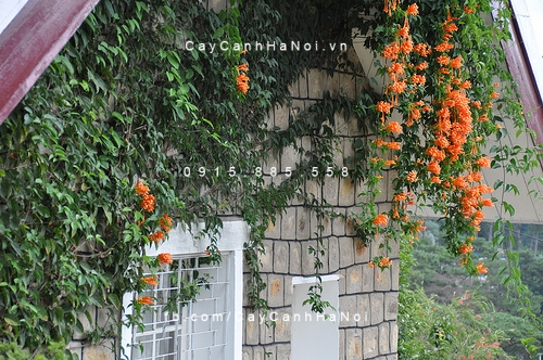Cây leo bờ tường hoa chùm ớt