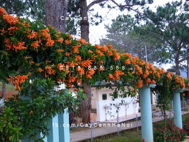 Hoa leo chùm ớt, dây rạng đông - Cây cảnh Hà Nội - Thảm cỏ hoa lá