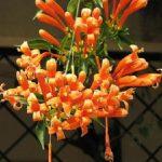 Hoa chùm ớt trong nắng