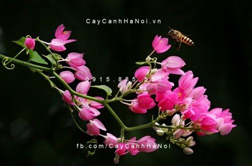 Hoa leo hoa ti gôn khoe sắc