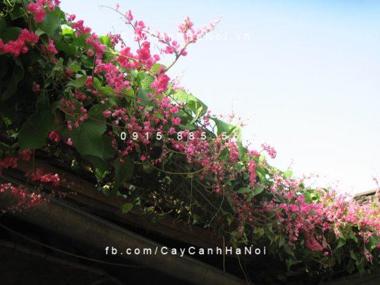 giàn hoa leo hoa ti gôn khoe sắc