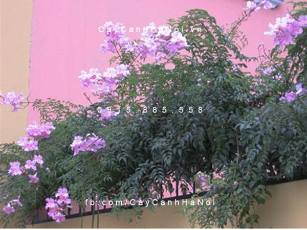 Hoa leo hồng thiên lý