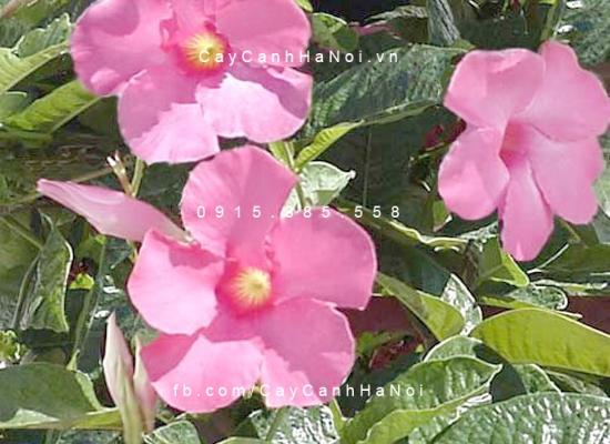 hoa leo trang dai 1