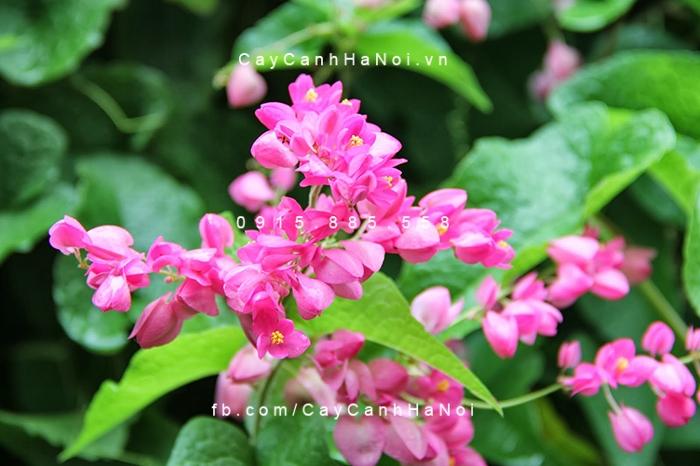 hoa-tigon-4