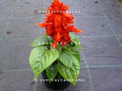 Cây hoa xác pháo đỏ