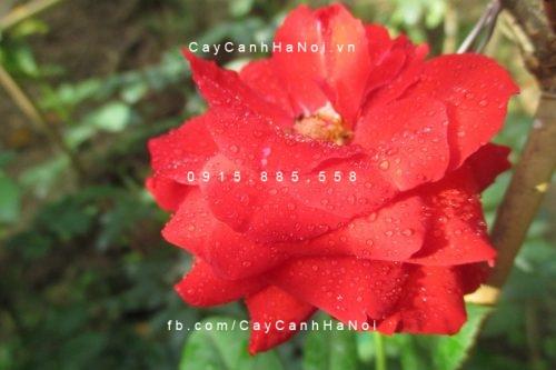 Cây hoa hồng lửa