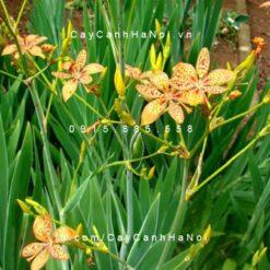 Cây La rẽ quạt hoa vàng