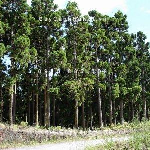 rừng cây liễu sam