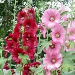 Cây Mãn đường hồng