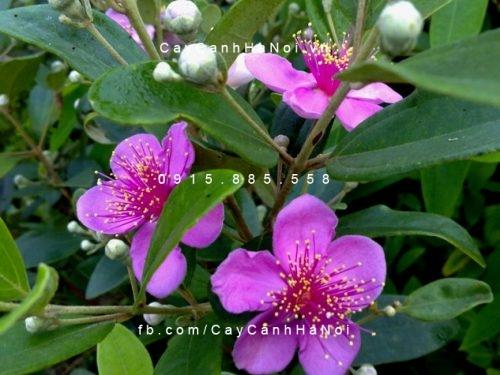 Hoa cây sim thái lan