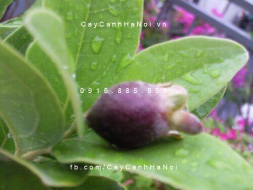 cây hoa sim thái lan