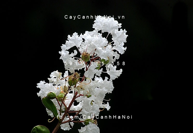 tường vi hoa trắng (2)