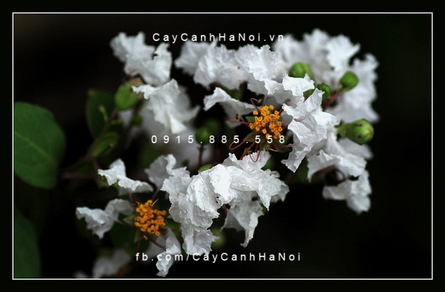 tường vi hoa trắng (3)