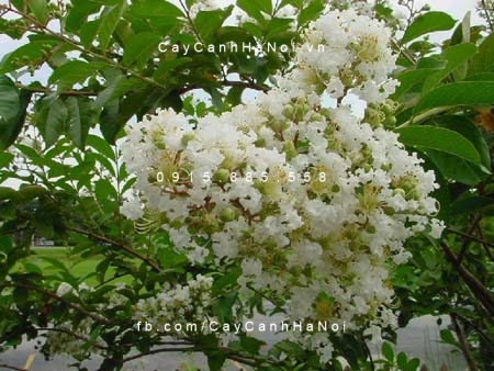 tường vi hoa trắng (4)