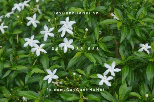 cây vạn phúc mai (mai tiểu thơ) (4)