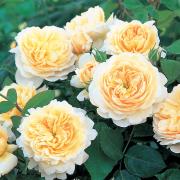 Hoa hồng Crocus Tree Rose