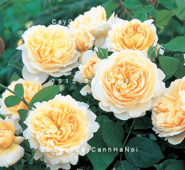 Hoa-hong-crocus-tree -rose (1)