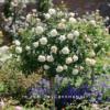 Hoa-hong-crocus-tree -rose (3)