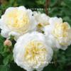 Hoa hồng Crocus Tree RoseHoa hồng Crocus Tree Rose