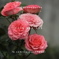 Hoa hồng Fair Sport Tree Rose