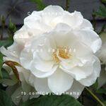 Hoa hồng Iceberg Tree Rose