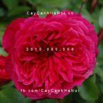Hoa hồng Ivor's Tree Rose