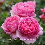 Hoa hồng Princess Alexandra of Kent Tree Rose