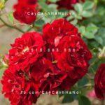 Hoa hồng Red Fairy Tree Rose