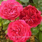 Hoa hồng Red Leonardo De Vinci Tree Rose