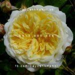 Hoa hồng The Pilgrim Tree Rose