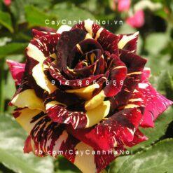 Hình ảnh hoa hồng Abracadabra Tree Rose